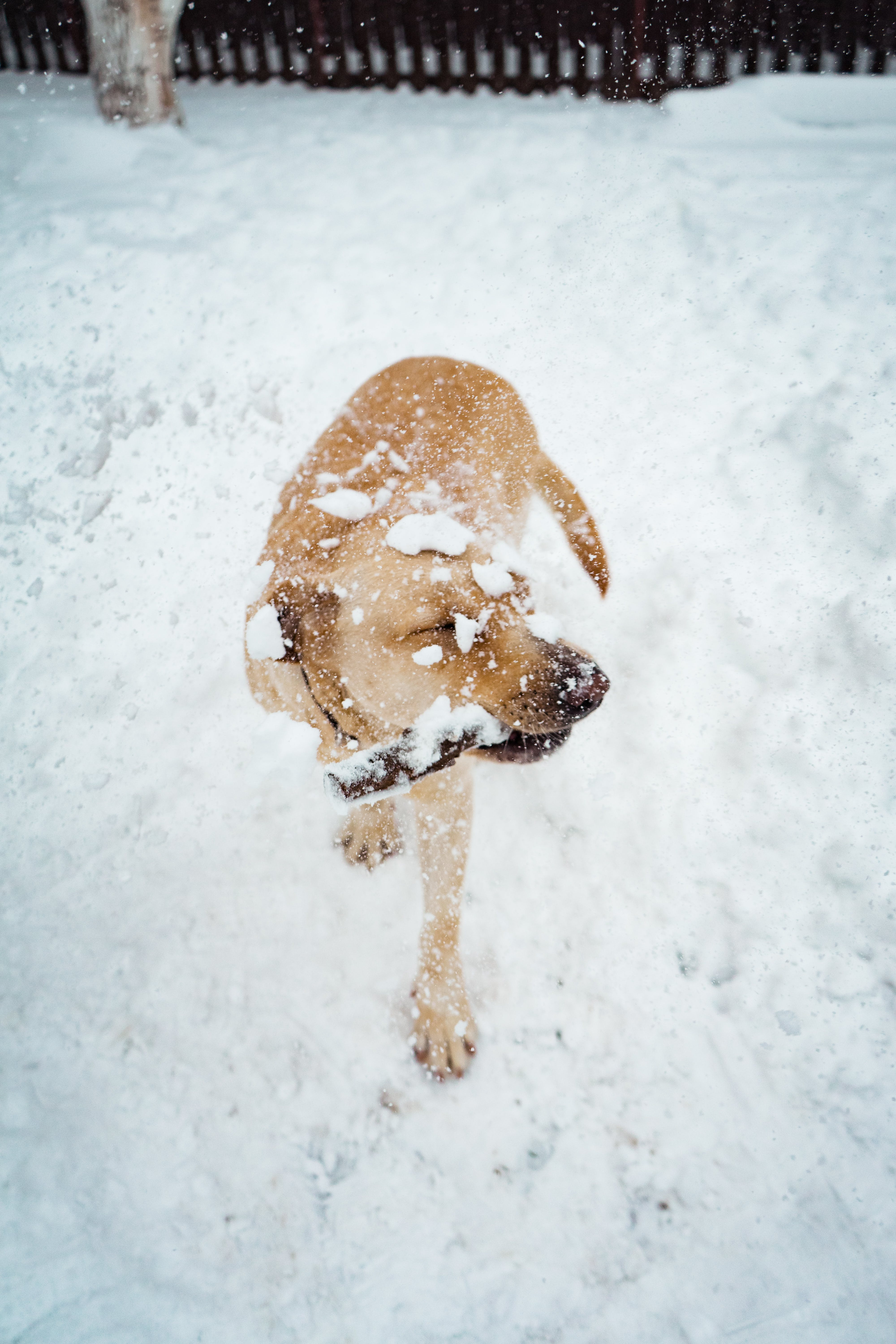 Short-coated Tan Dog on Snow Covered Place