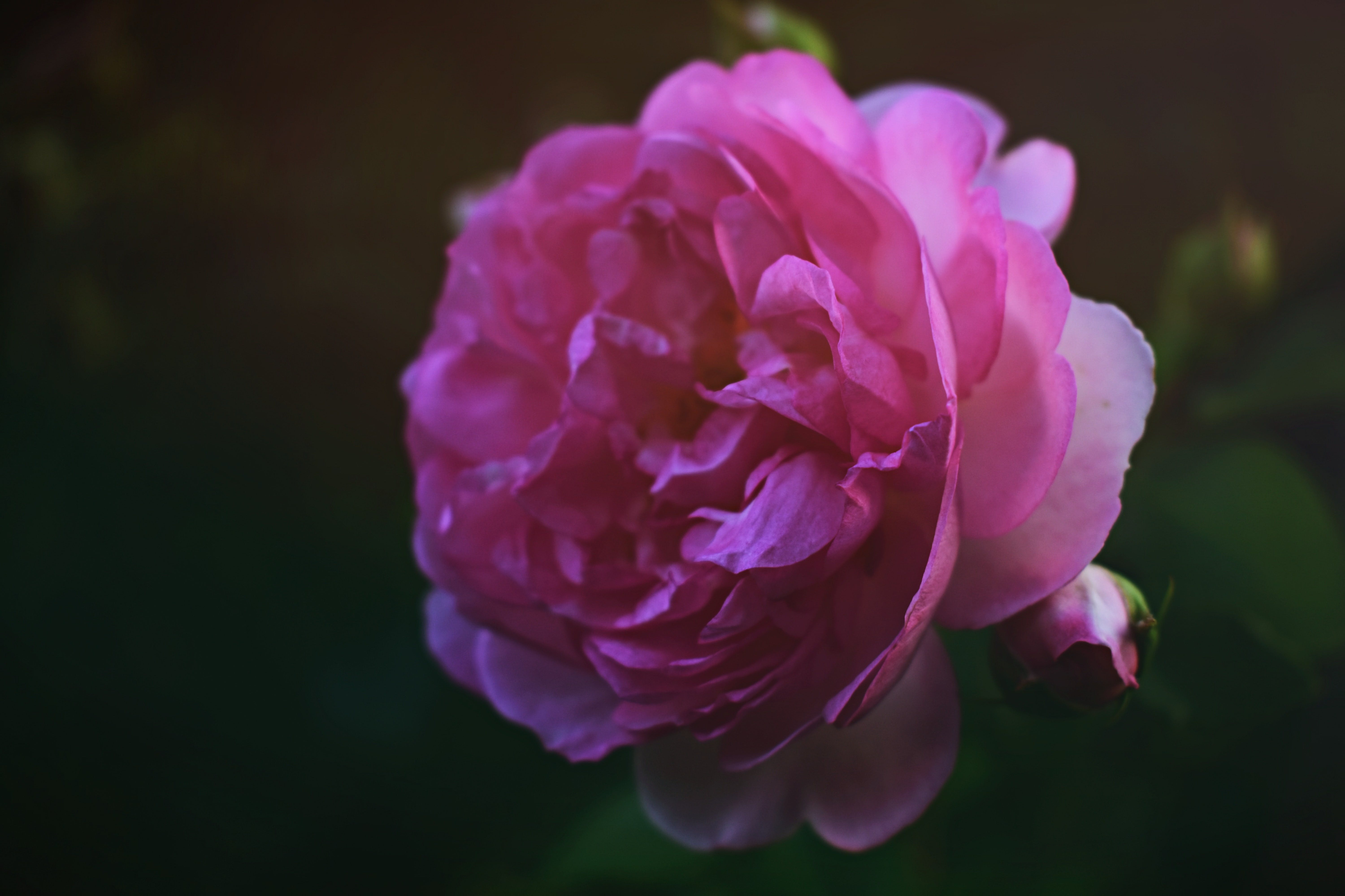 Close-up Photography of Pink English Rose Flower