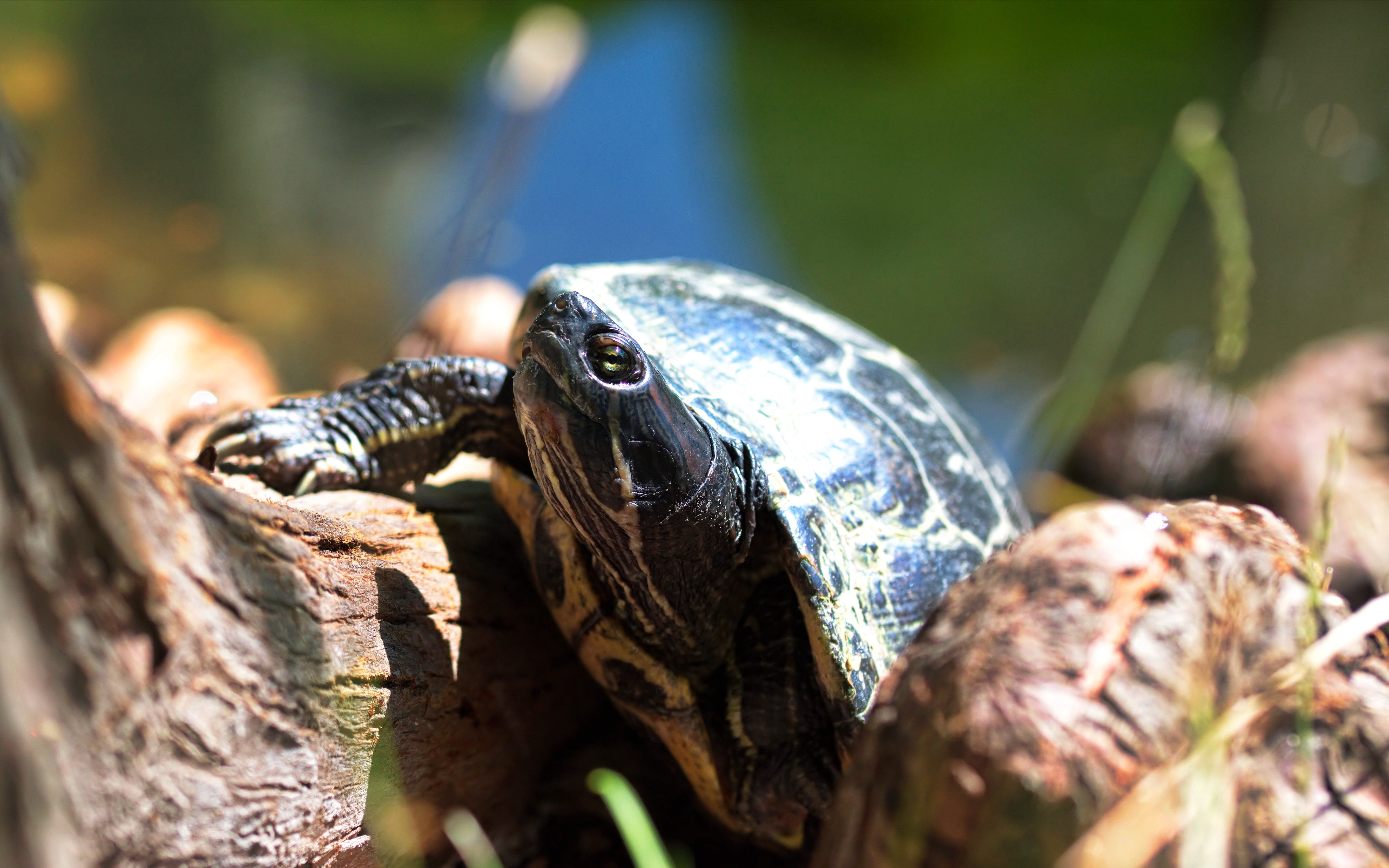 Free stock photo of close-up view of a turtle, tree