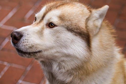 Foto stok gratis anjing, anjing husky, hewan peliharaan, penglihatan