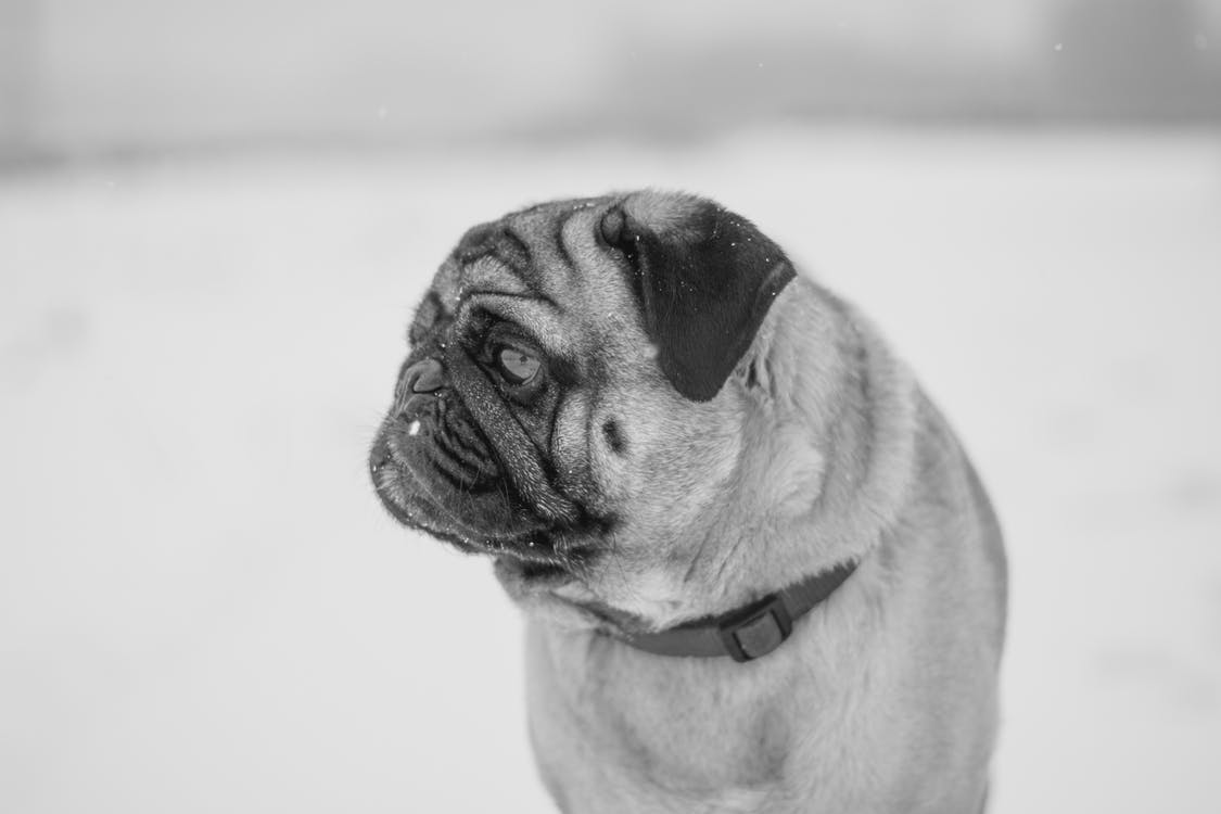 Grayscale Photography Of Pug