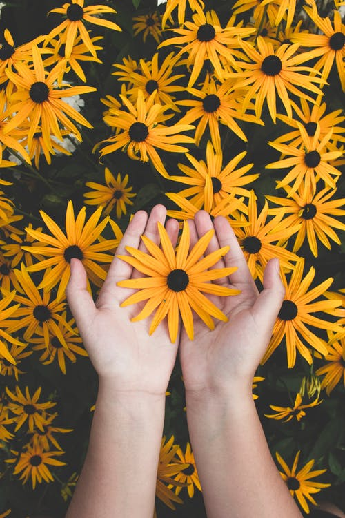 Person Holding Yellow Black-eyed Susan Flowers in Bloom