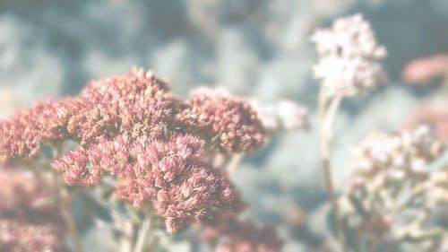 Fotobanka sbezplatnými fotkami na tému kvety, rastliny, sedum
