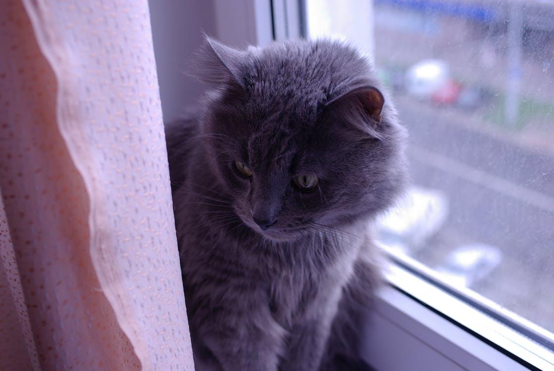 Free stock photo of cat, cat face, pet