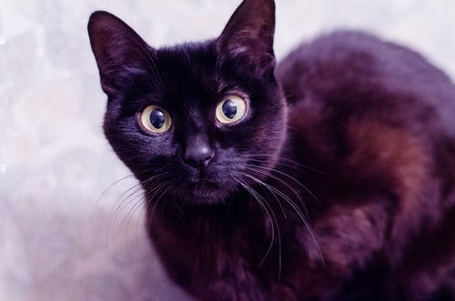 Free stock photo of black cat, cat, cat eye, cat face