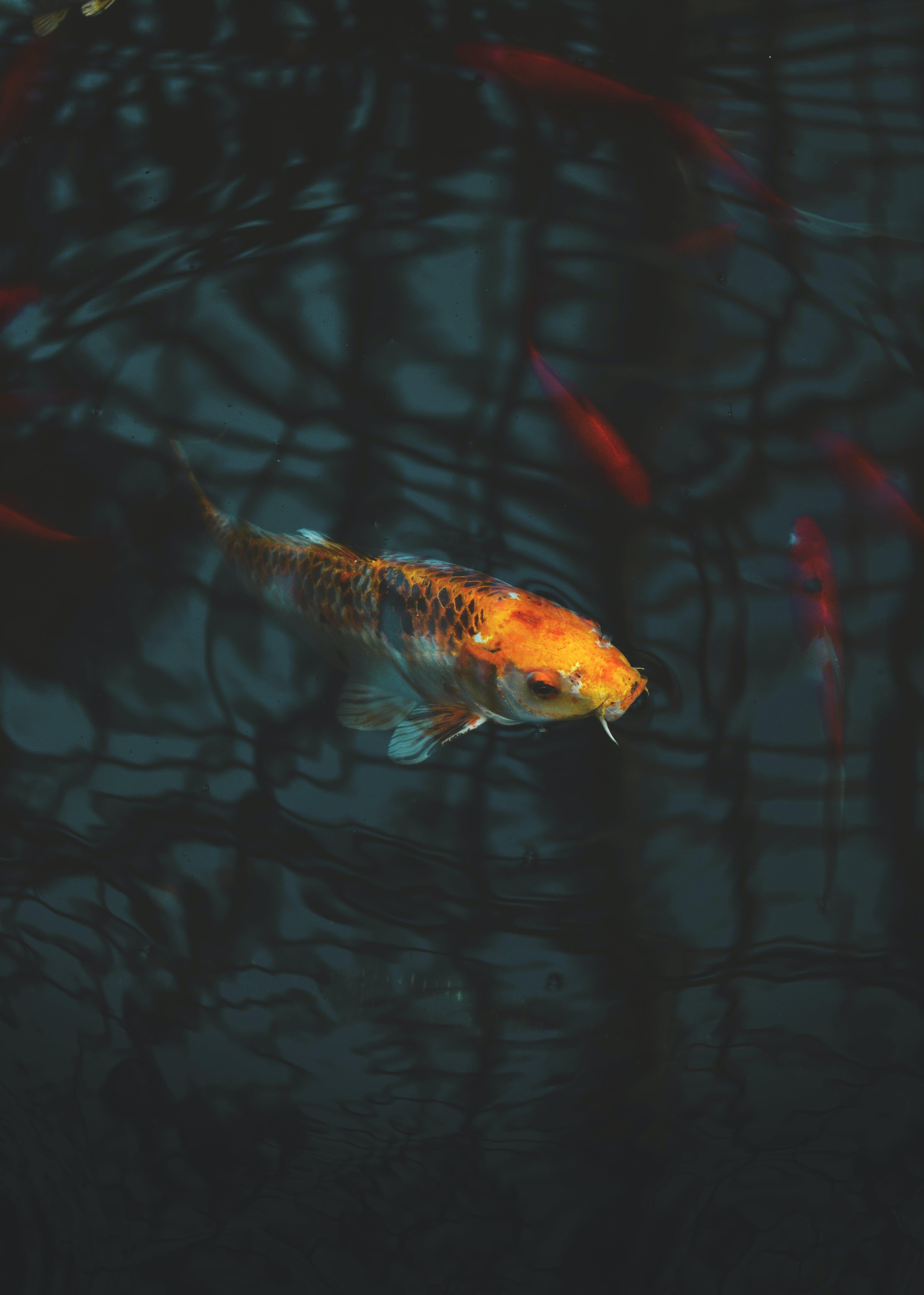 Close-up of Koi Fish