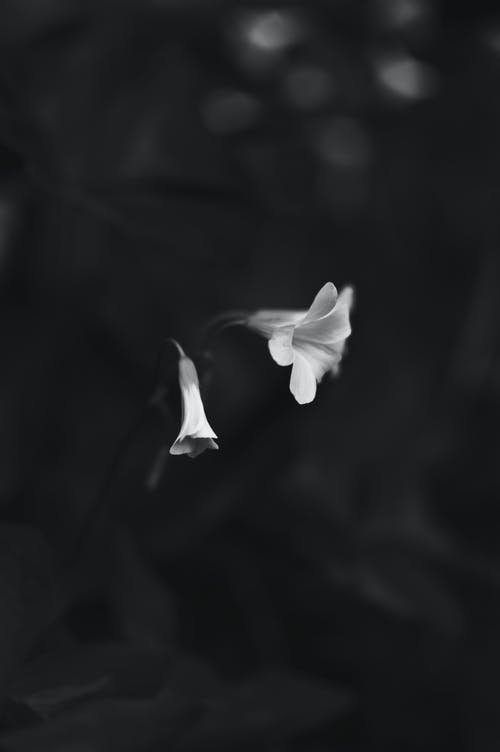 Free stock photo of black and white, dark, flower, white flower
