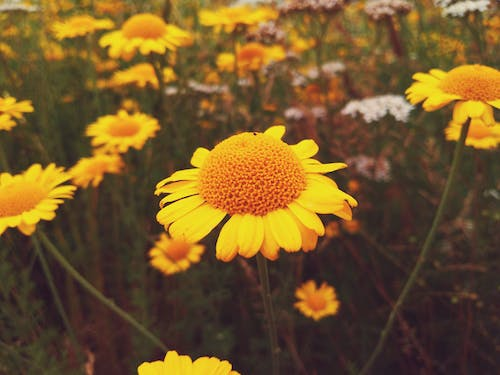 Free stock photo of flower field, flowers, nature, yellow flowers