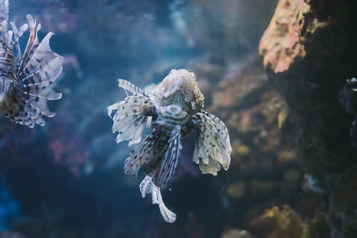 lionfish, 물, 바다, 산호의 무료 스톡 사진
