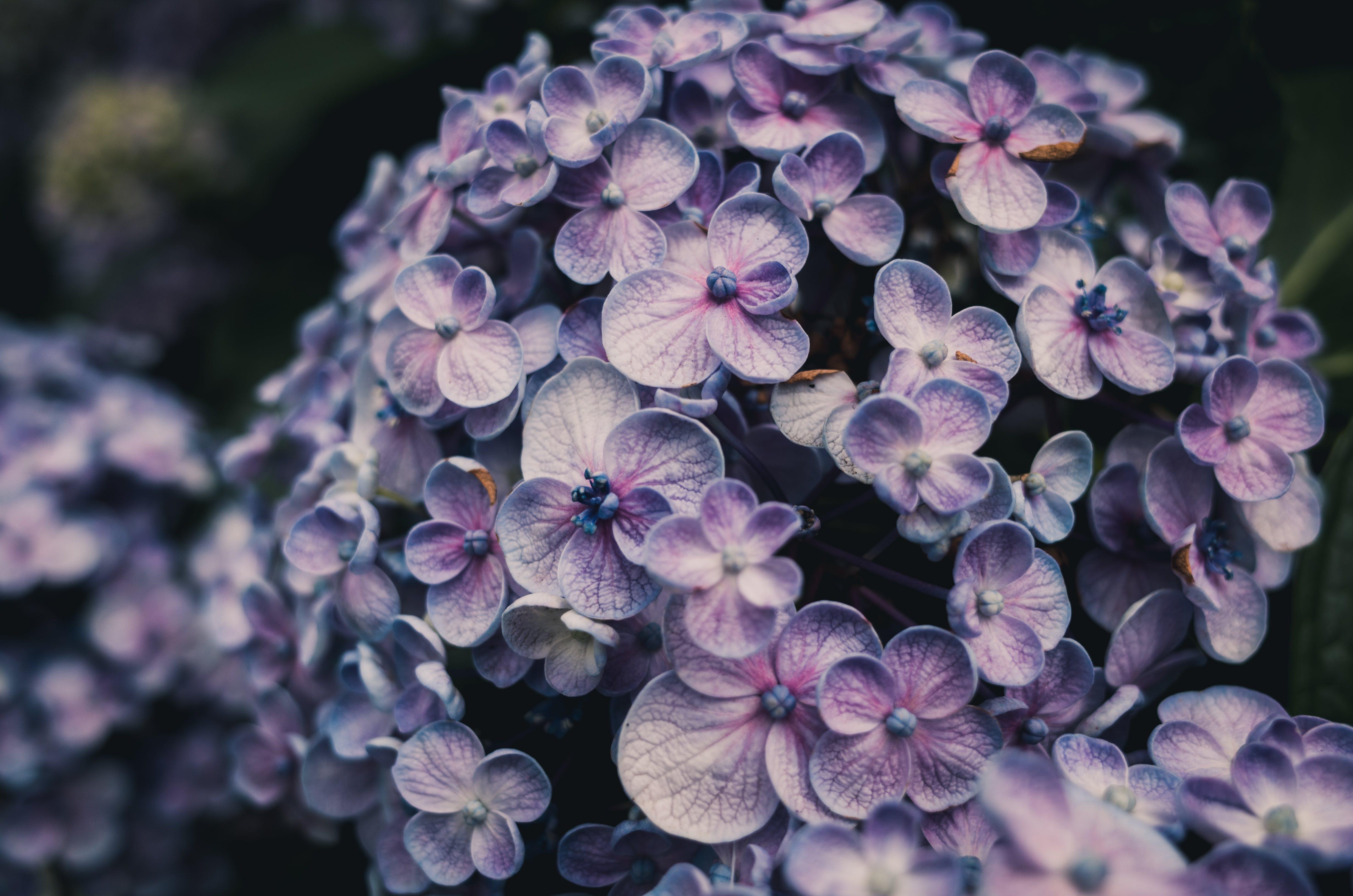 Close-Up Photo of Purple Hydrangea Flowers