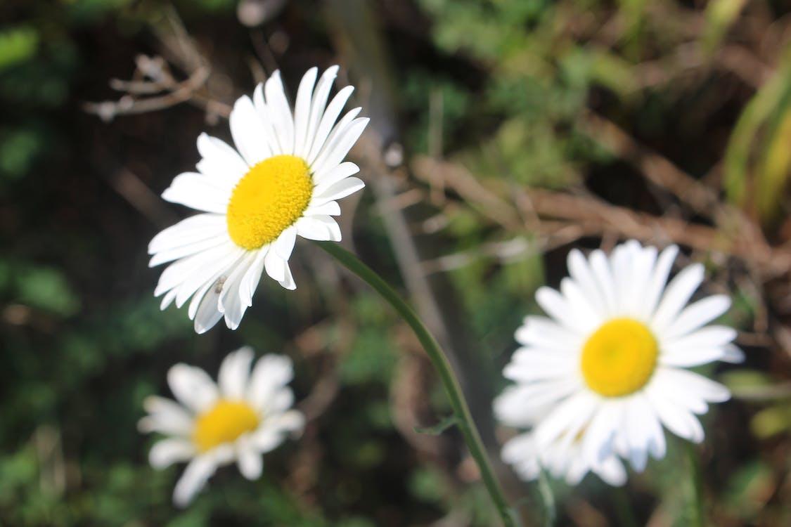 floare albă, floarea-soarelui, flori