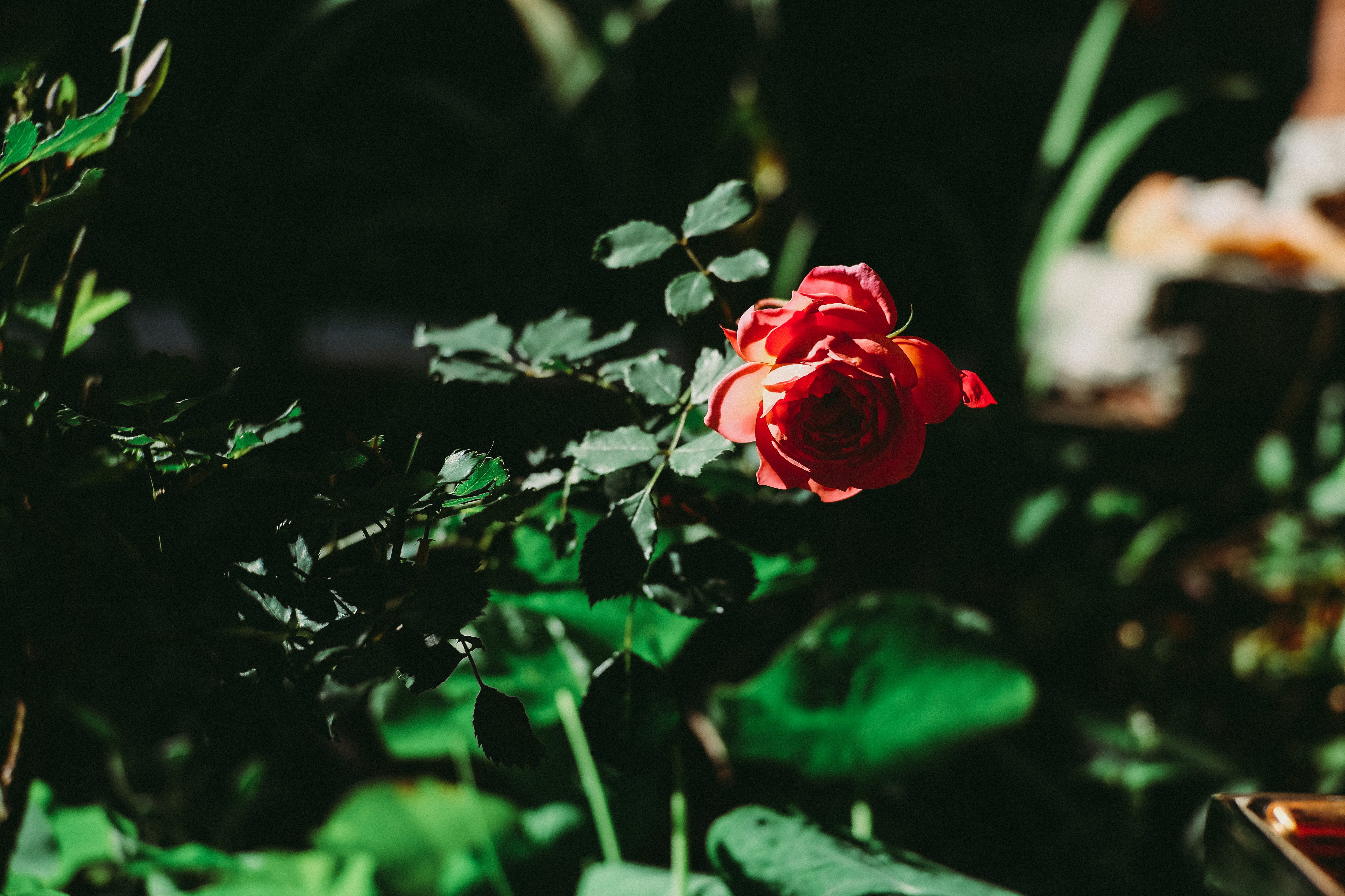 Closeup Photography of Red Rose