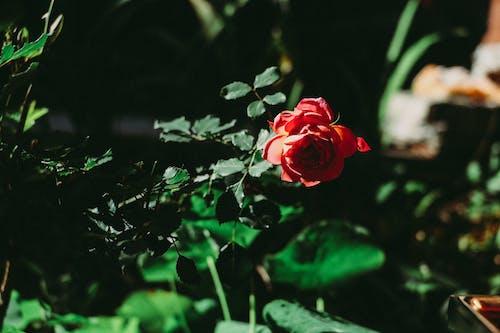 フローラ, ローズ, 咲く, 明るいの無料の写真素材