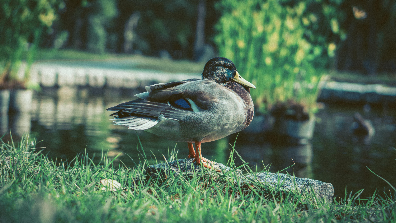 Mallard Duck Near Body of Water