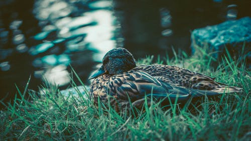 Selective Focus Photography of Brown Duck
