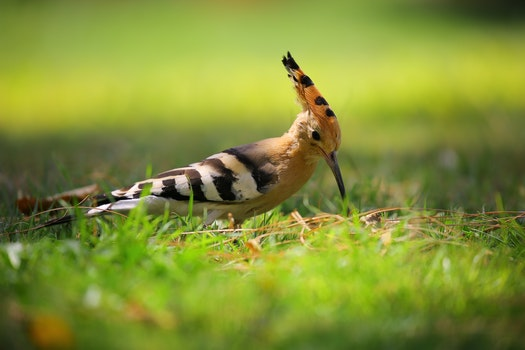 Selective Focus Photography of Brown Black and White Long Beak Bird on Green Grass