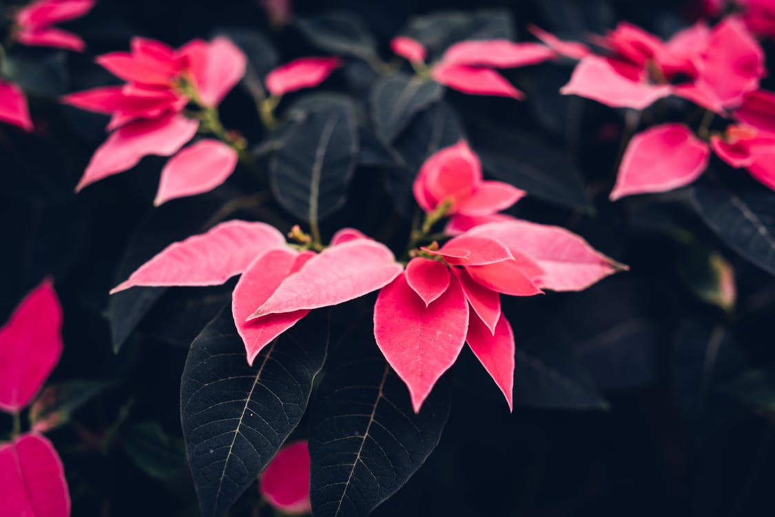 Red Poinsettia Flowers in Close-up Photography