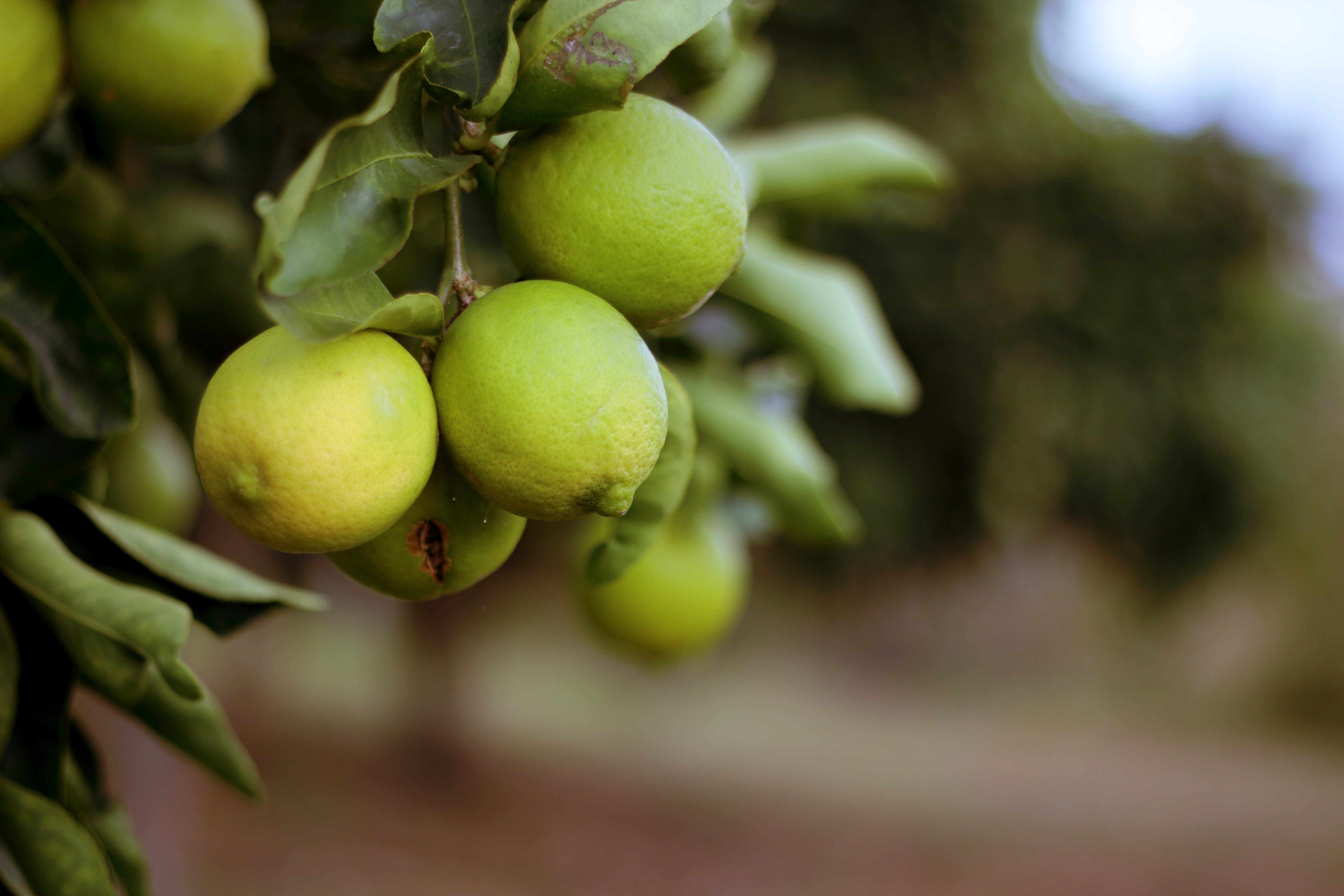 Δωρεάν στοκ φωτογραφιών με αγρόκτημα, γινωμένος, δέντρο, καρπός