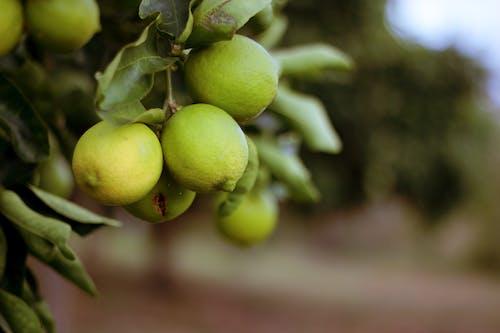 Ilmainen kuvapankkikuva tunnisteilla hedelmä, kypsä, limetit, limetti