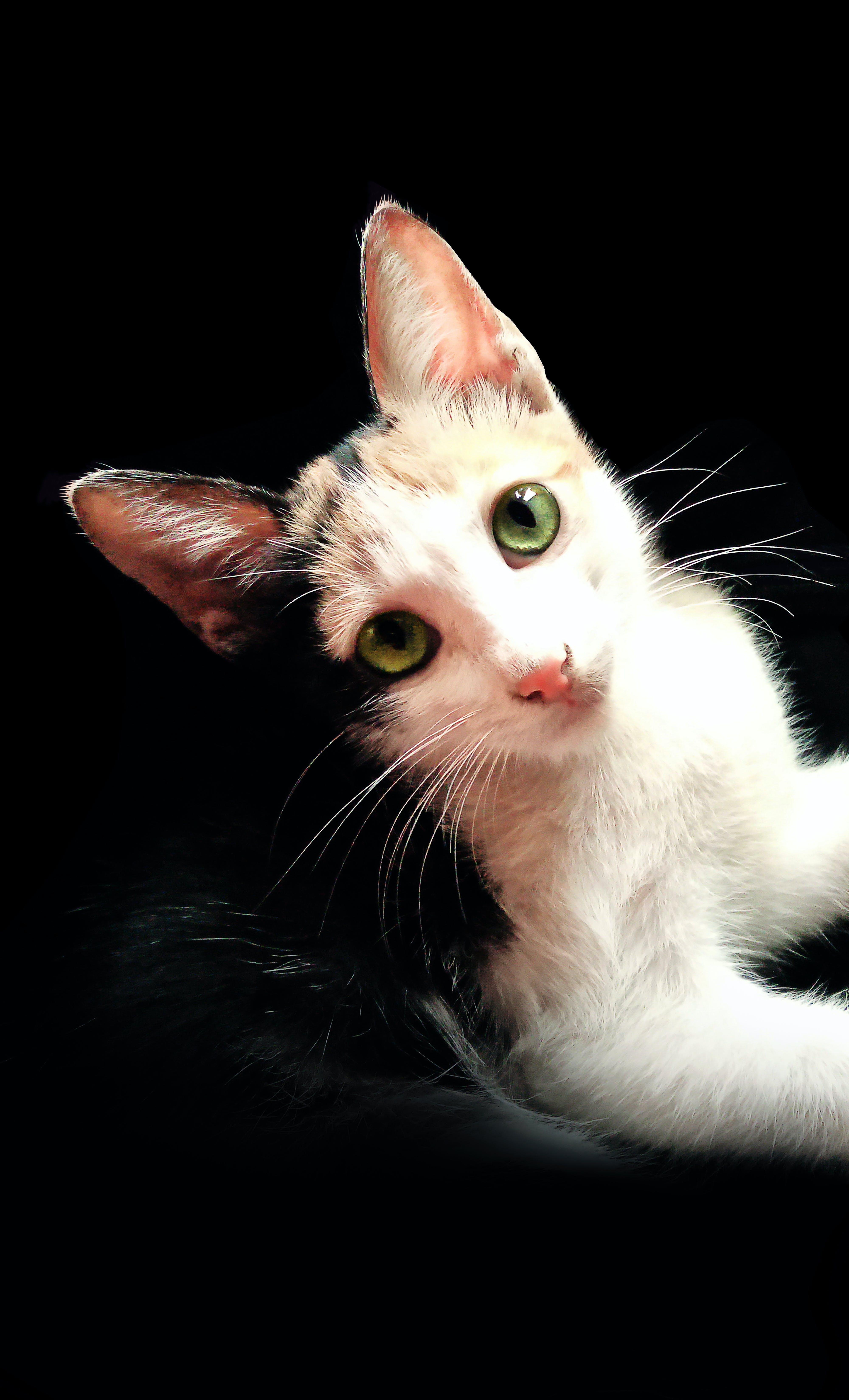 Free stock photo of black background, cat, cat eye, cat face