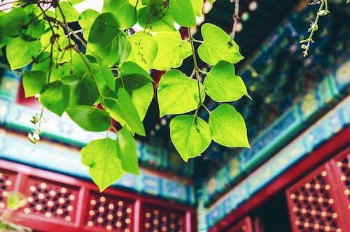 Kostenloses Stock Foto zu blätter, makro, peking, pflanze