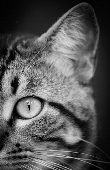Close Photography and Grayscale Photography of Tabby Cat