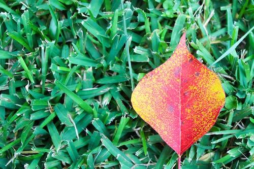 Free stock photo of fall leaf, fall leaves, red leaf