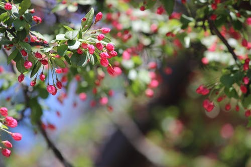 Free stock photo of blossoming tree, pink berry, pink floral