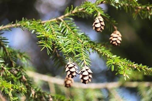 Free stock photo of pine cones, pine tree, vermont