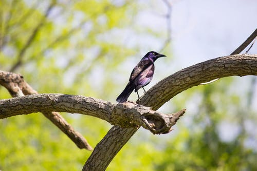 Purple and Black Feathered Bird Resting on Beige Wood Branches