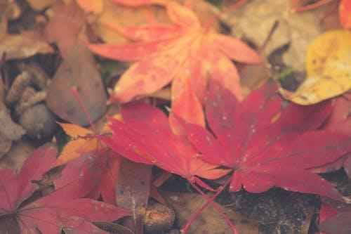 Kostnadsfri bild av höstlöv, ljusa färger, lönnlöv, röd lönn