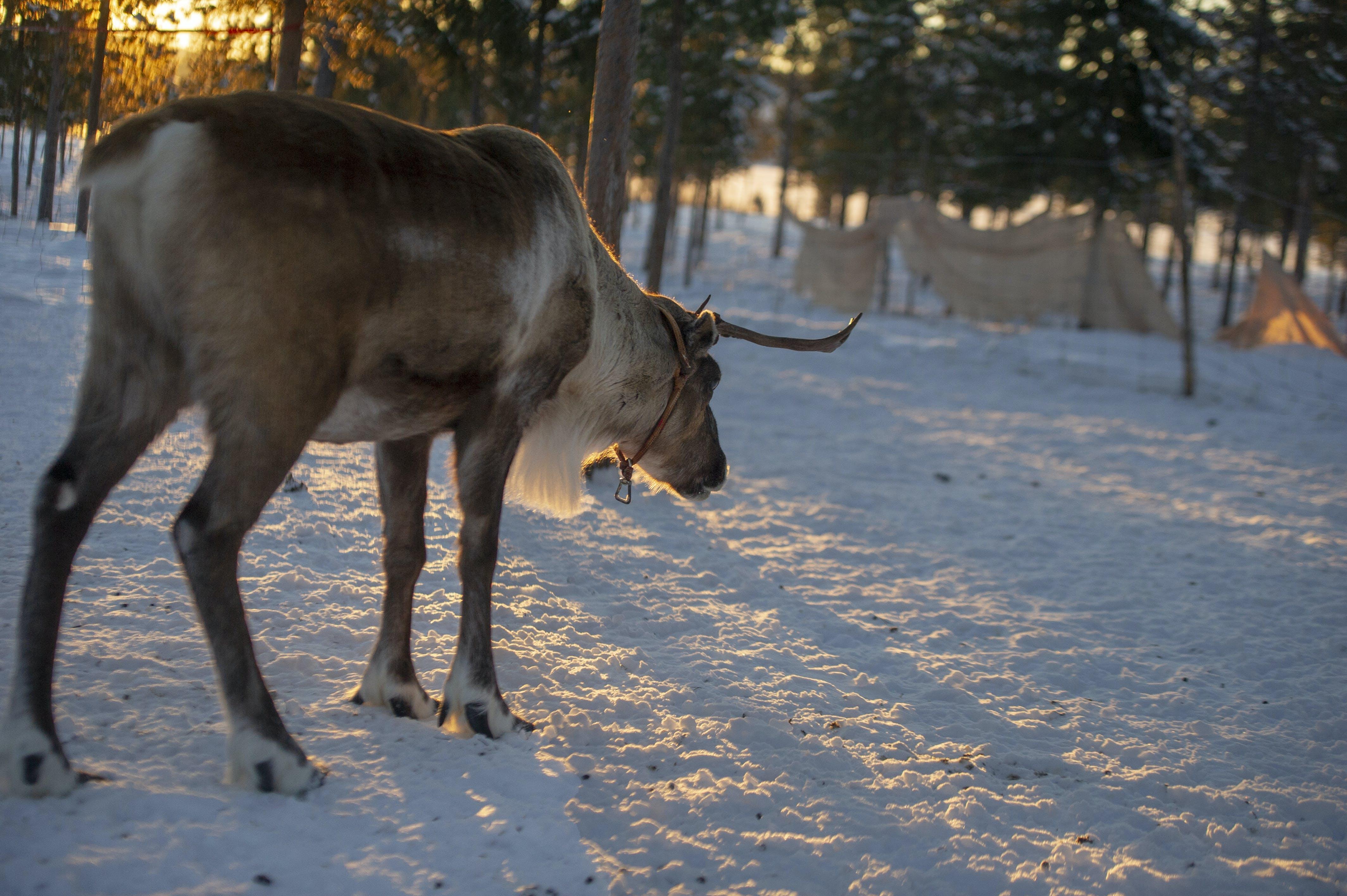 Moose Standing On Snow