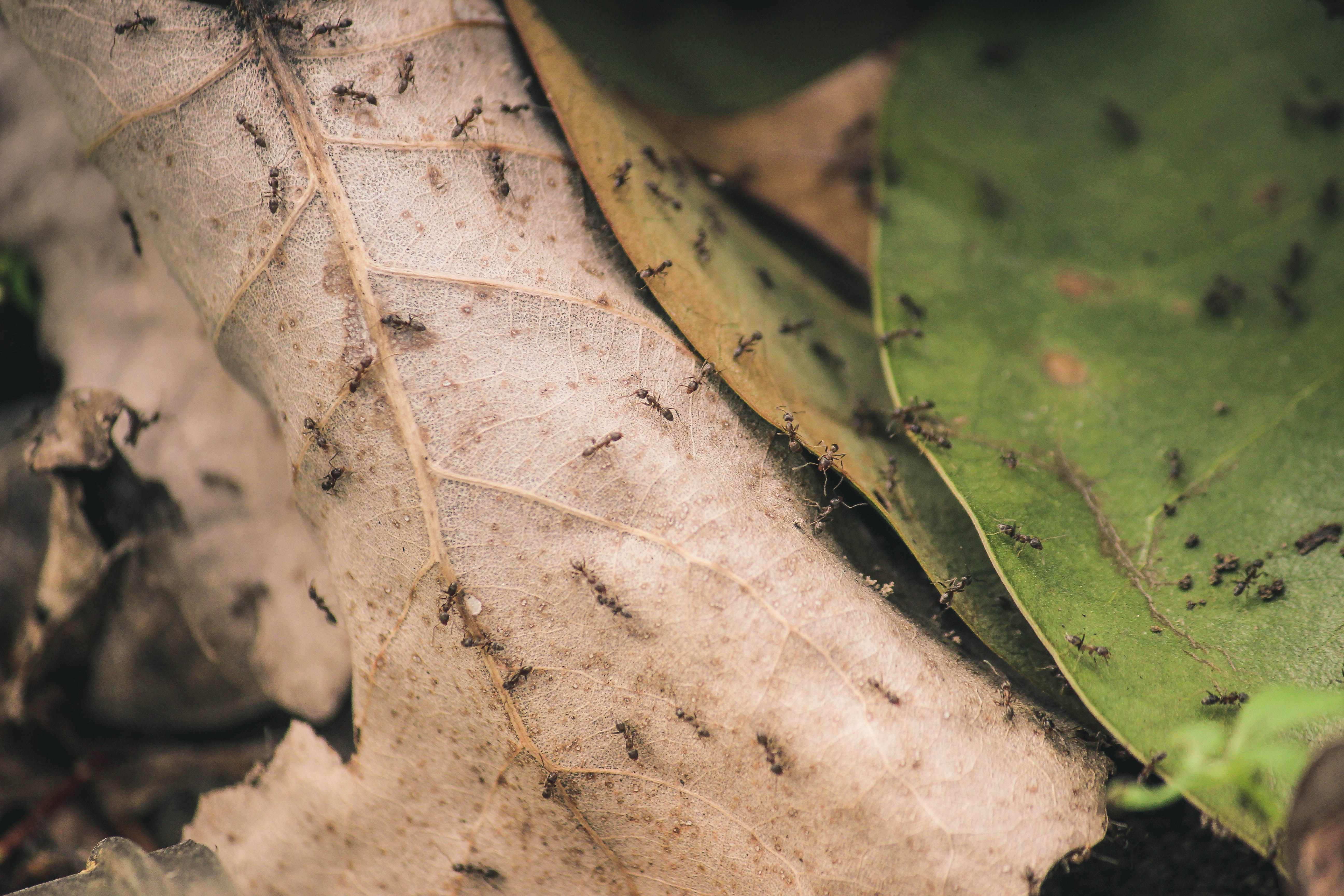 Ants on Brown and Green Leaves