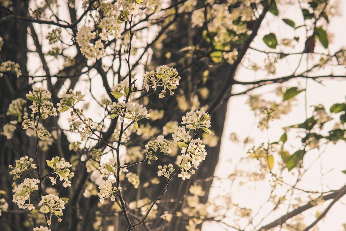 arbore floral, copac înfloritor, floral alb