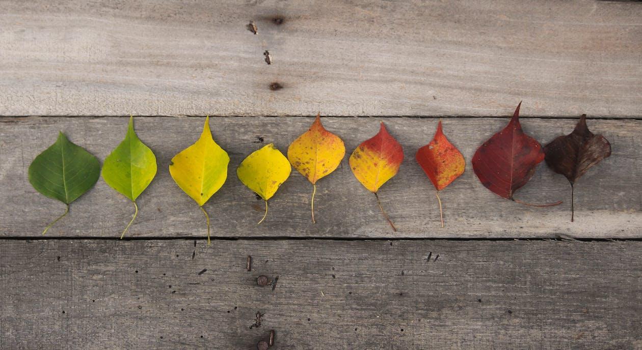 culori de toamnă, frunze moarte, frunze roșii