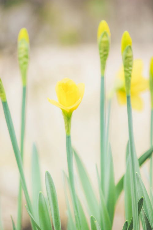 Free stock photo of bloom, daffofils, easter