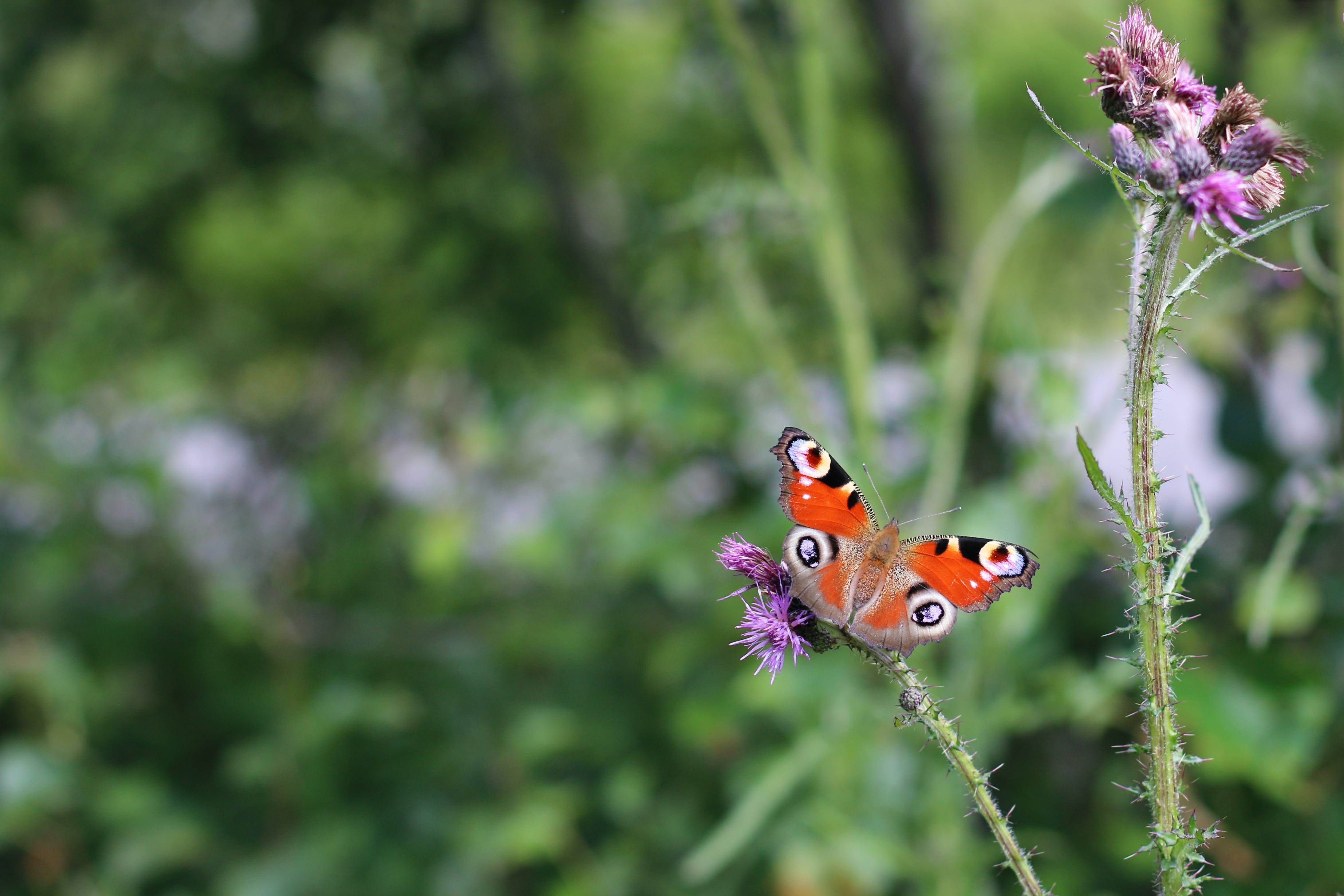 Free stock photo of butterfly, butterfly on a flower, guppy