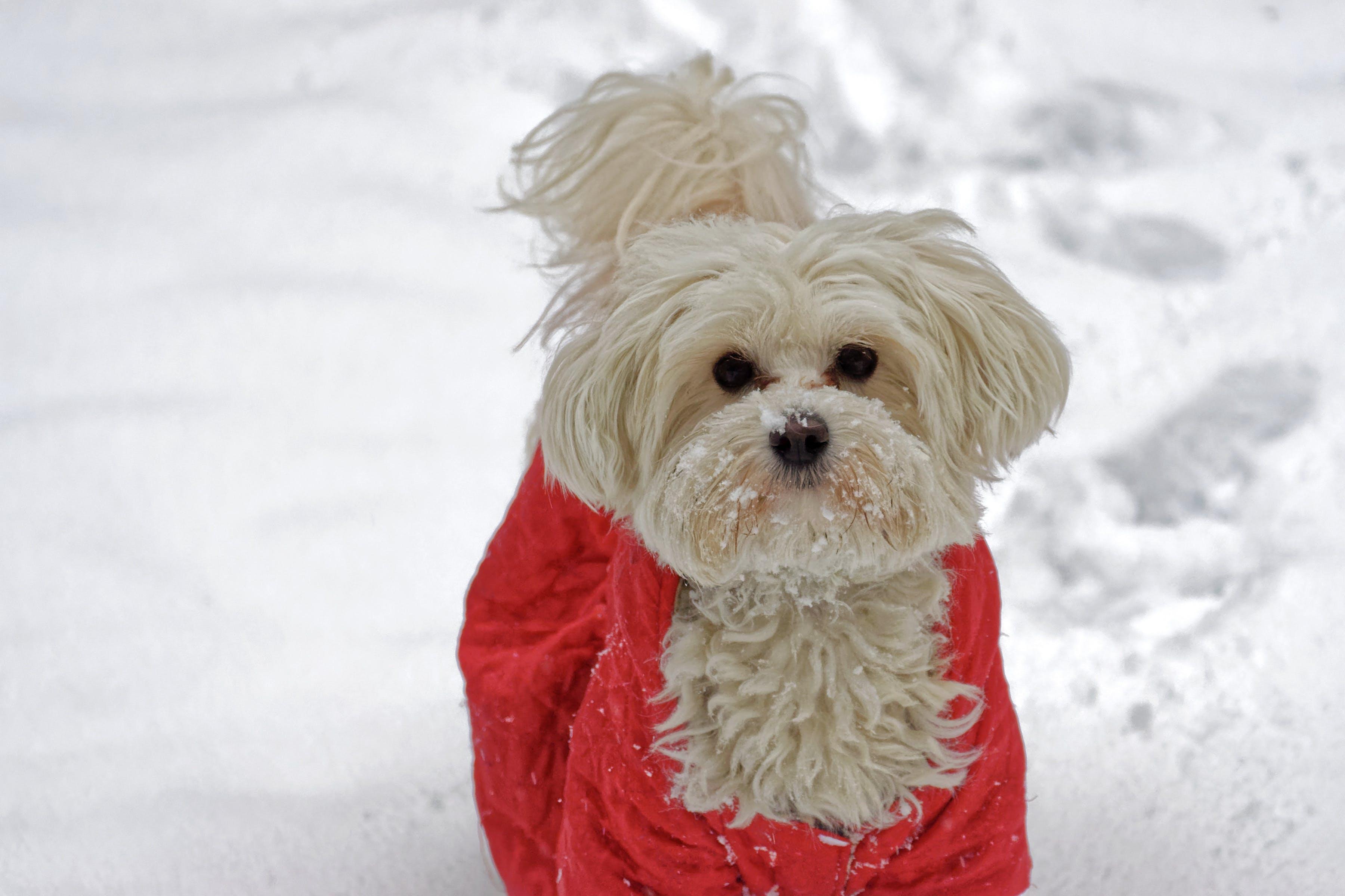 Ảnh lưu trữ miễn phí về áo khoác đỏ, cận cảnh, chó, con chó trắng trên tuyết