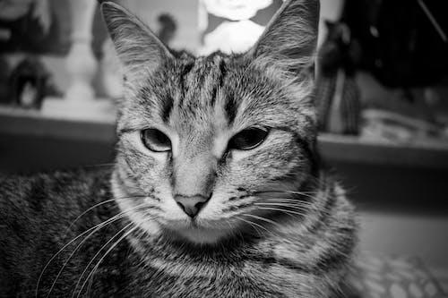 Δωρεάν στοκ φωτογραφιών με ασπρόμαυρο, Γάτα, γάτες, ζώο