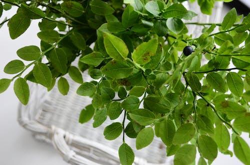 Kostnadsfri bild av flora, friskhet, gröna löv, löv
