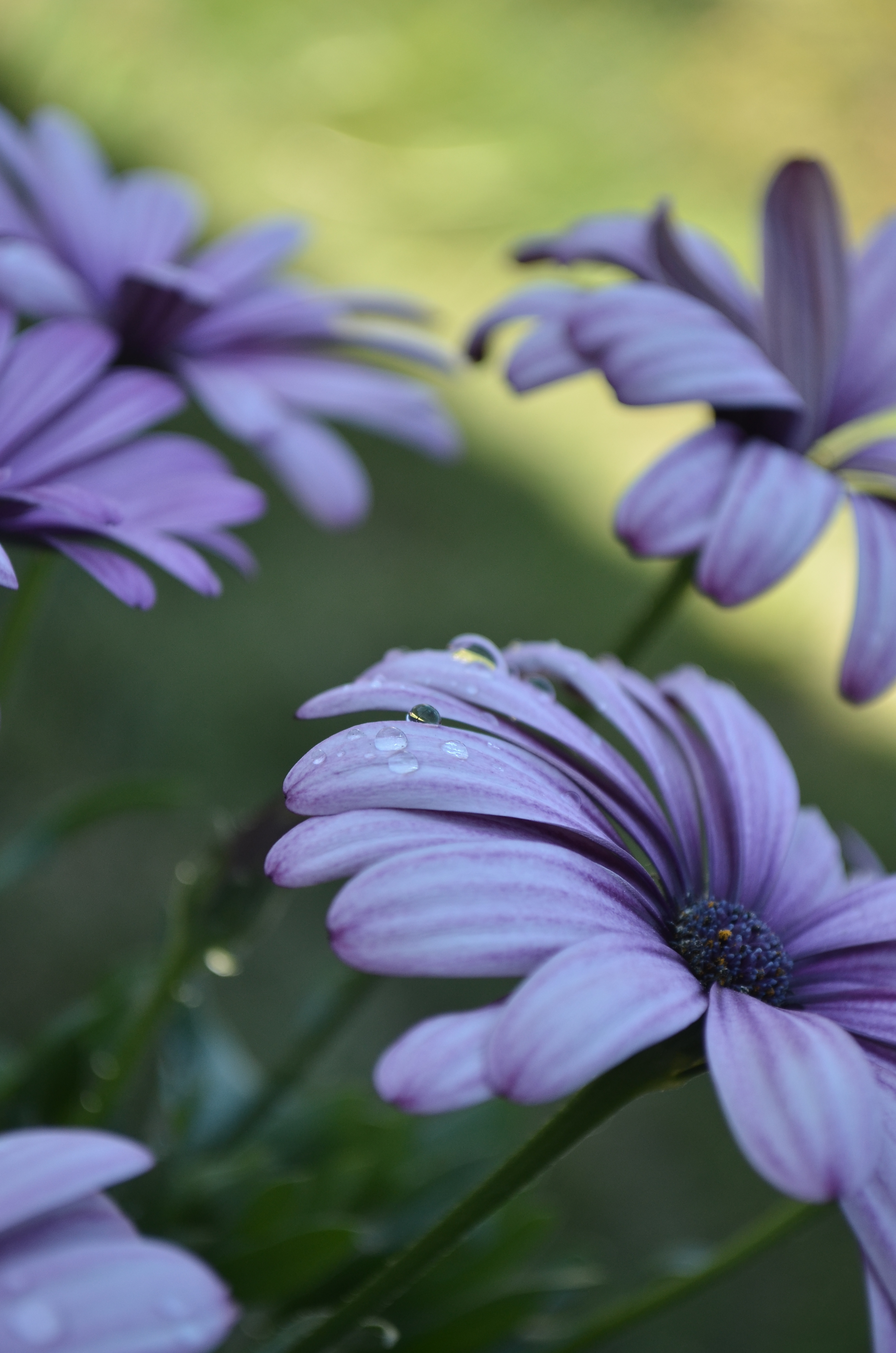 Selective Focus Photography Of Purple African Daisy Flowers