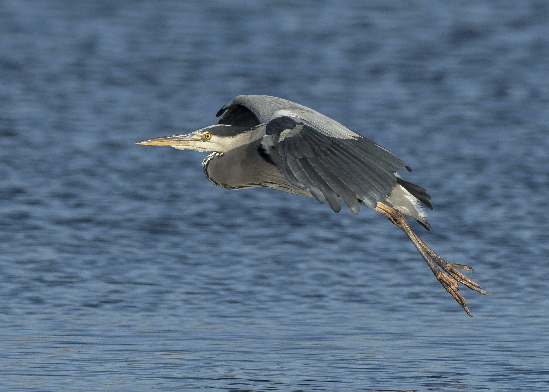 Free stock photo of bird, flight, grey heron, landing