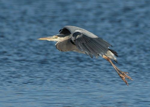 Foto d'estoc gratuïta de aterrant, garza grisa, vol