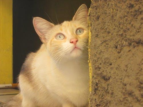 Gratis lagerfoto af gato blanco, hvid kat
