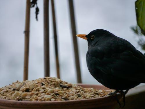 Free stock photo of bird feeder, blackbird