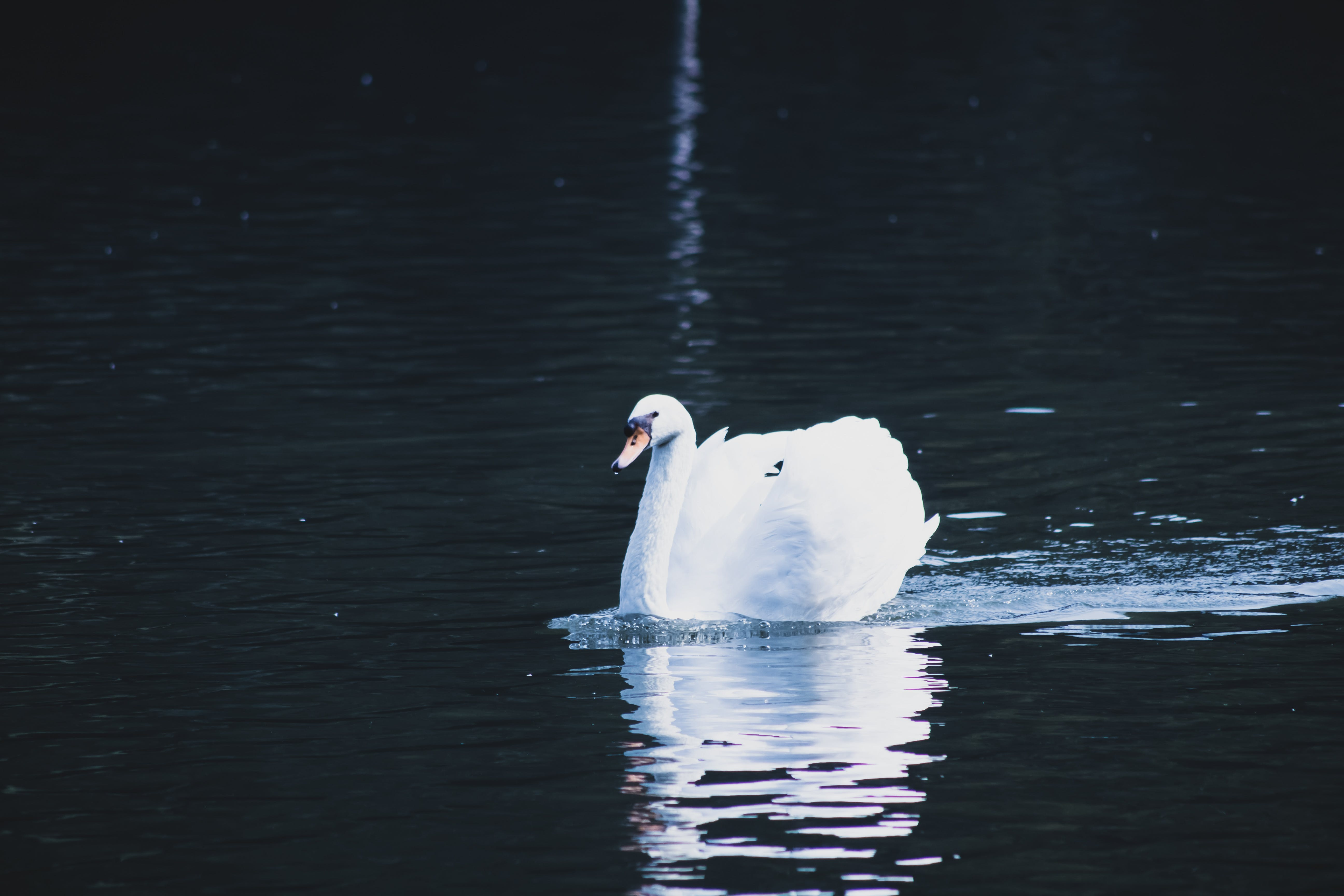Photo of Mute Swan on Body of Water