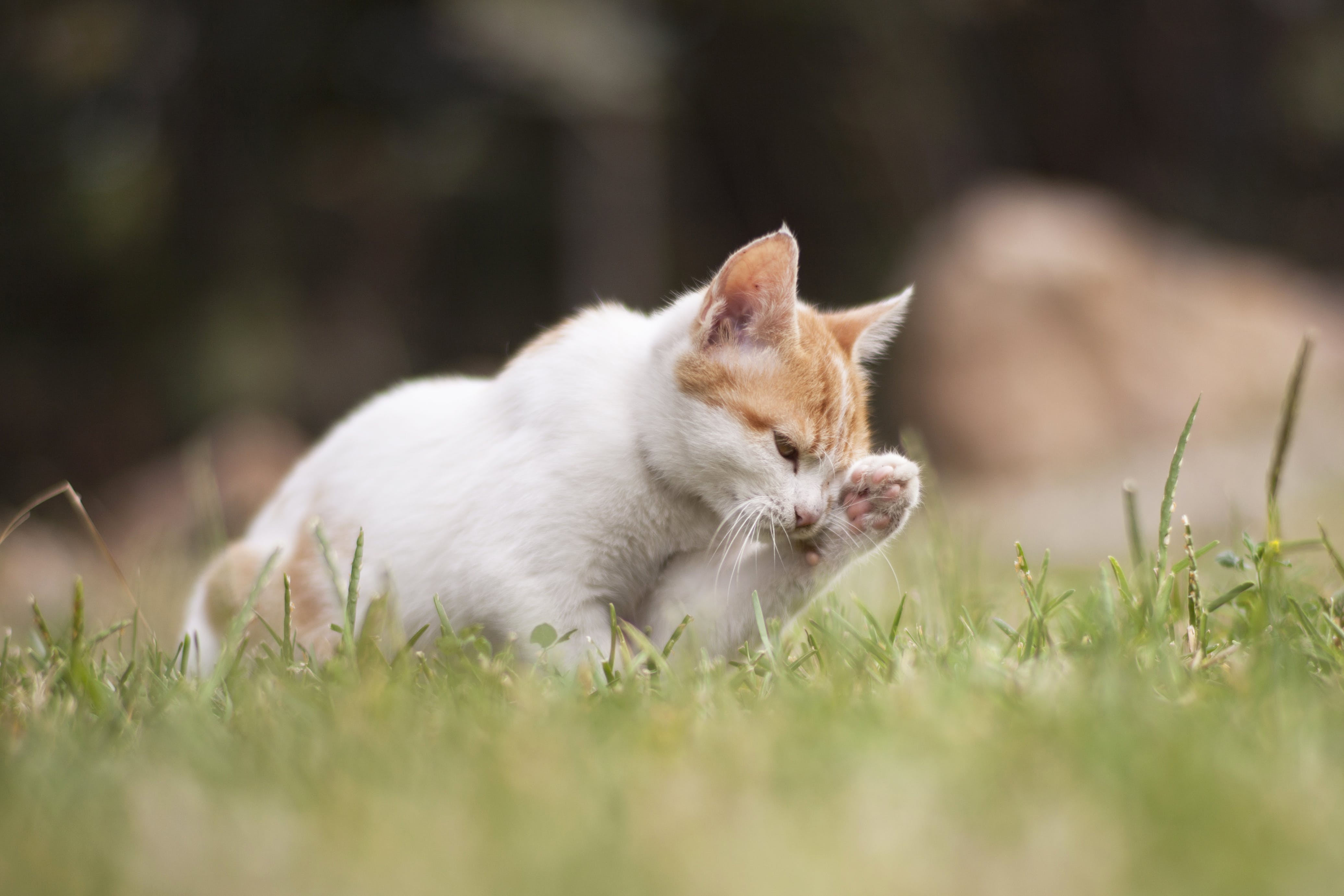 かわいらしい, キティ, ネコ, ペットの無料の写真素材