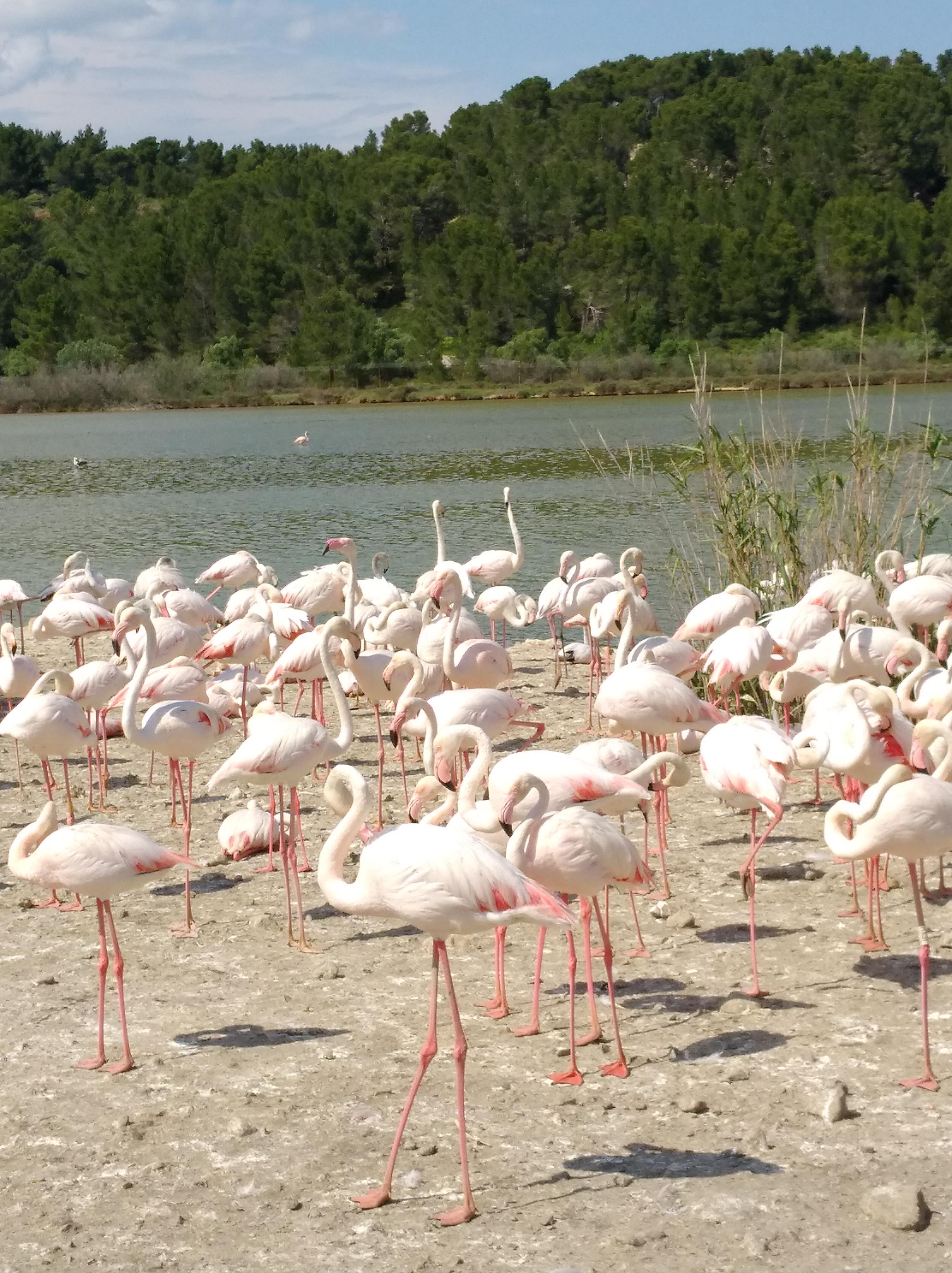 Free stock photo of nature park, pink flamingo near salted pond, wild animals