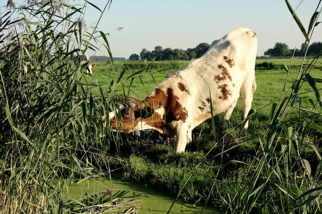 Голландия, голландская корова, домашняя корова