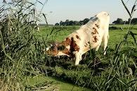 animal, meadow, cow